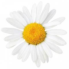 Chamomile Blossoms BIO (Matricaria chamomilla L.)