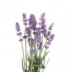 Lavender (Lavandula officinalis, Lavandula angustifolia MILL.) BIO