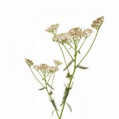 Yarrow (Achillea millefolium) BIO