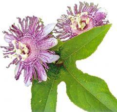 Passion Flower Herb (Passiflora incarnata) BIO